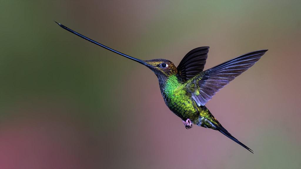 Sword-billed hummingbird-7923-Edit