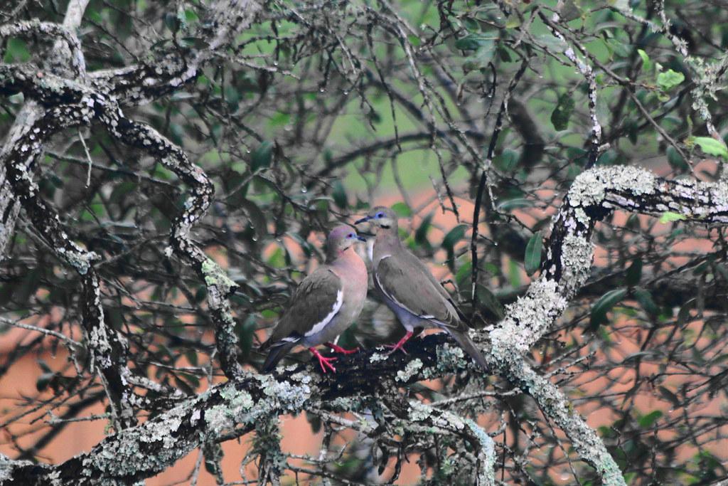 Impetuous Doves