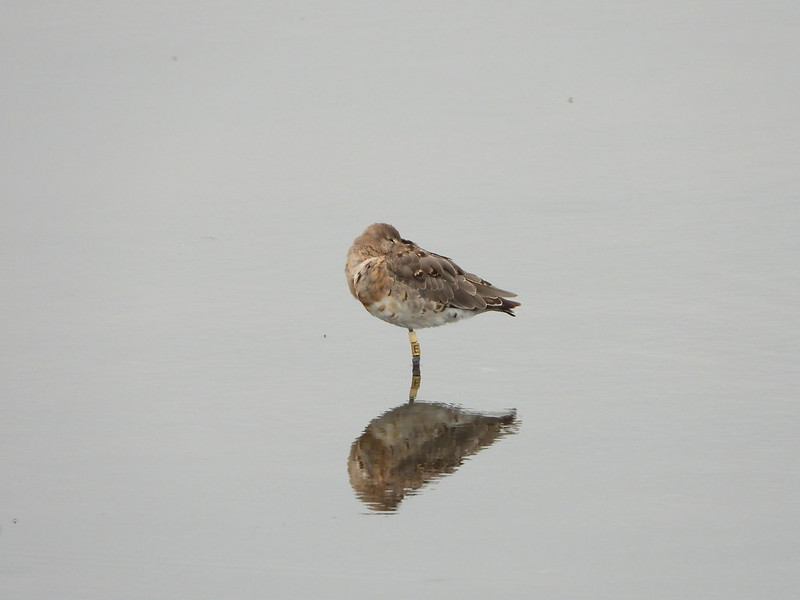 Black-tailed godwit by Andrew Hannaford