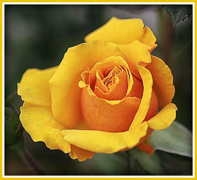 60D yellow rose