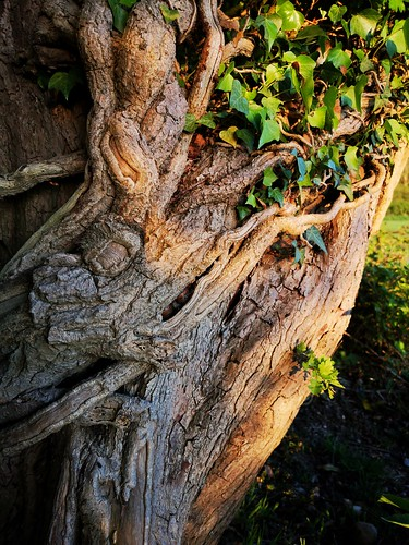 tree trunk texture natural patterns ivy huaweip20pro climbing