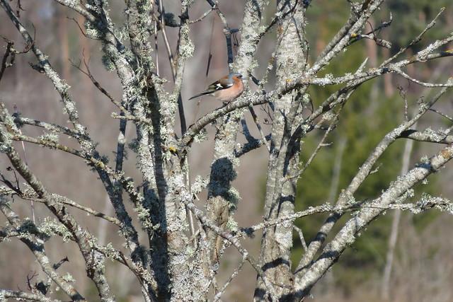 Metsvint / Common chaffinch / Fringilla coelebs