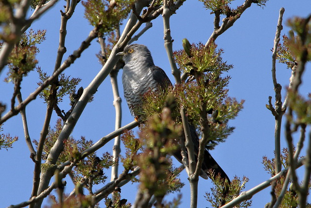 From the Archives:- Common Cuckoo (Cuculus canorus)