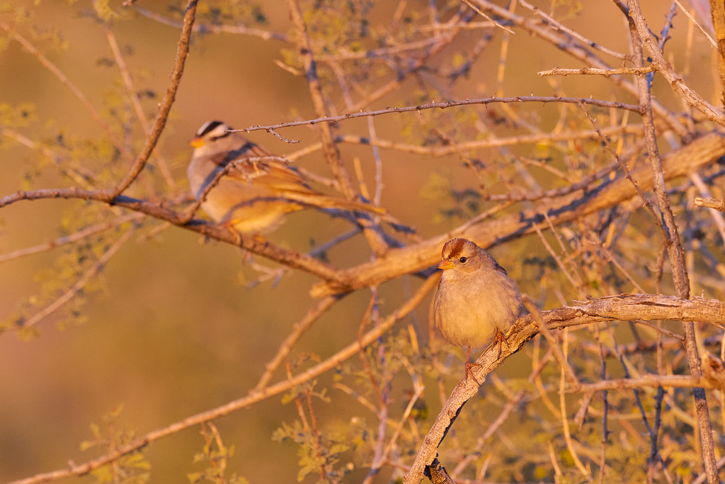 A juvenile white-crowned sparrow perches in a bush with an adult behind it at first light on a winter's morning on the Marcus Landslide Trail in McDowell Sonoran Preserve in Scottsdale, Arizona in December 2019