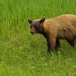 Cinnamon Bear...#8