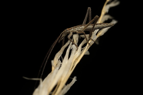 Katydid nymph - Zaprochilus sp?