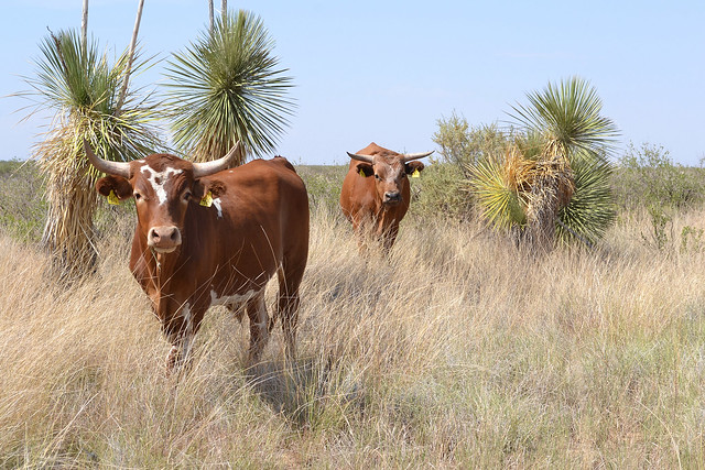Criollo cattle at the ARS Jornada Experimental Range