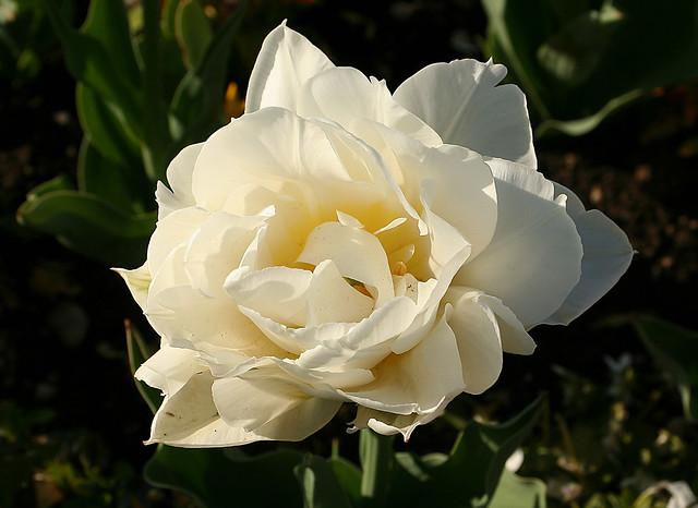 White Double Tulip