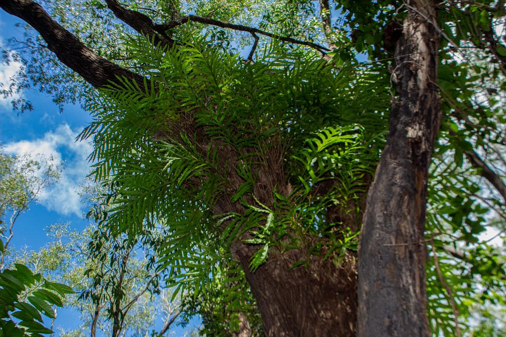 Epiphytic Fern