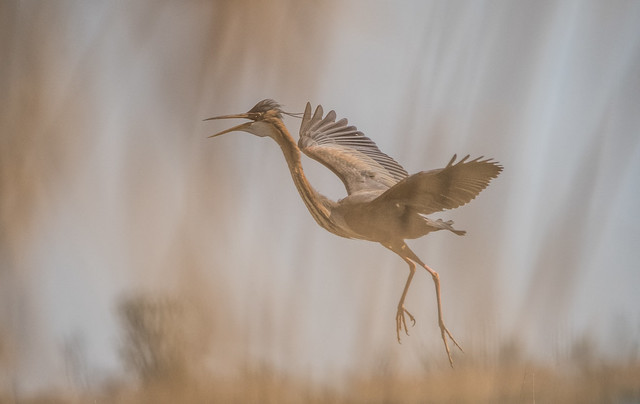 Behind the reeds / Vörös gém (Ardea purpurea)