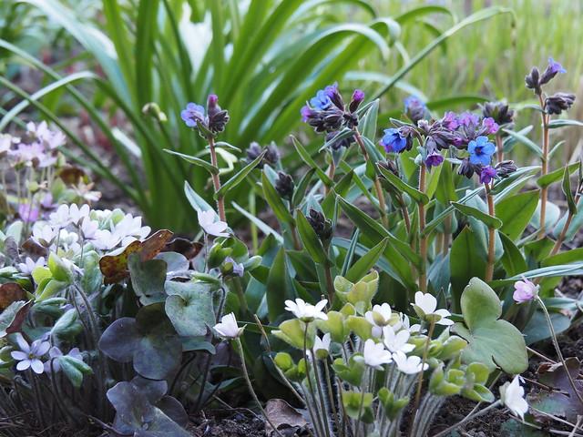 Hepatica nobilis & Pulmonaria 'Blue Ensign'