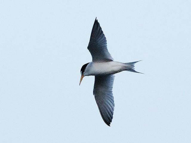 Least Tern 02-20200423