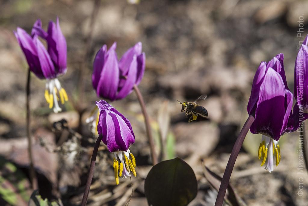 Кандыки и пчёл!