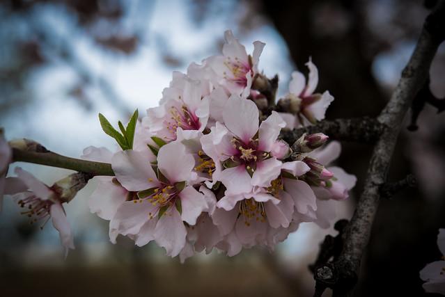 DAV_0567L Almond blossoms