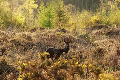Roe Deer at a Distance..x