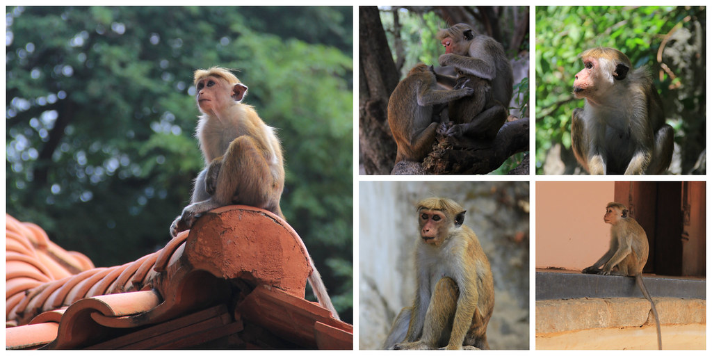 Monkeys, Dambulla Cave Temple