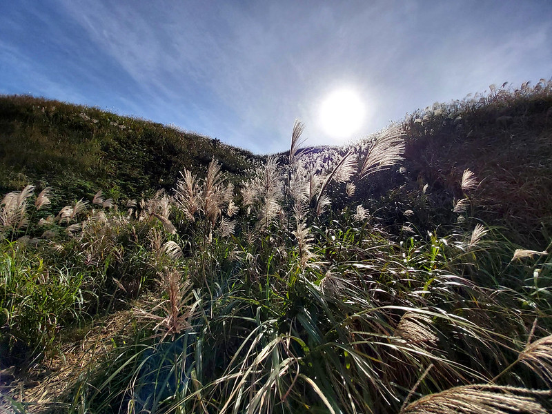 Silver grass blooming in autumn