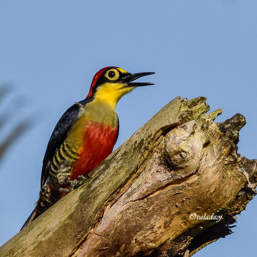 Benedito-de-testa-amarela! Yellow-fronted Woodpecker - Melanerpes flavifrons
