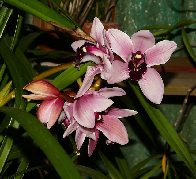 Cymbidium Yai 'Monica' hybrid orchid 4-20*
