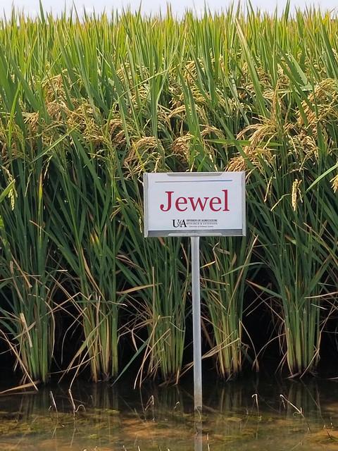 JewelRice01