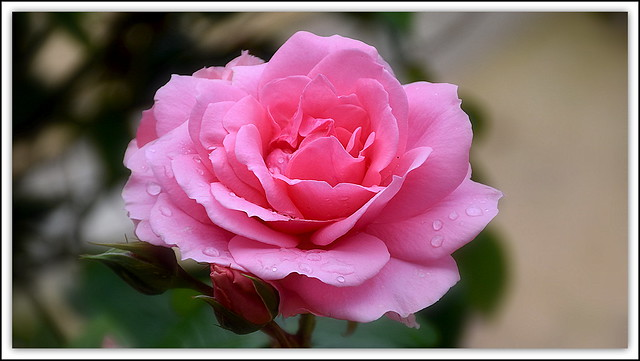 Flower Of The day - Pink Rose