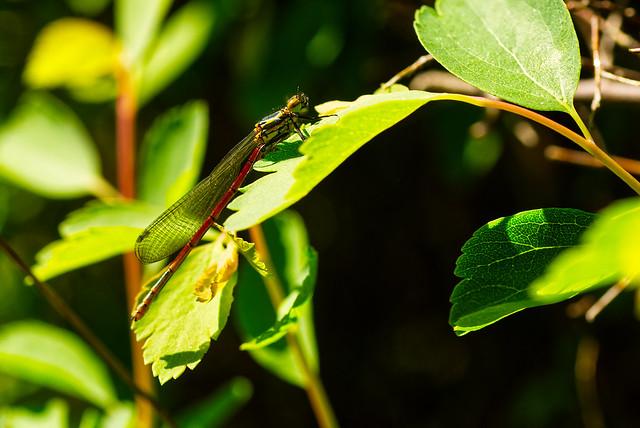 (Pyrrhosoma nymphula