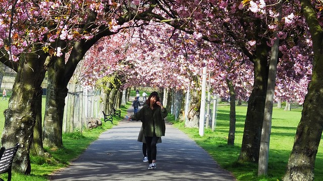A Tunnel of Cherry Blossoms 02