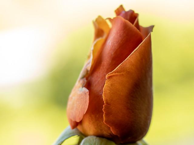 Rosebud in the Window