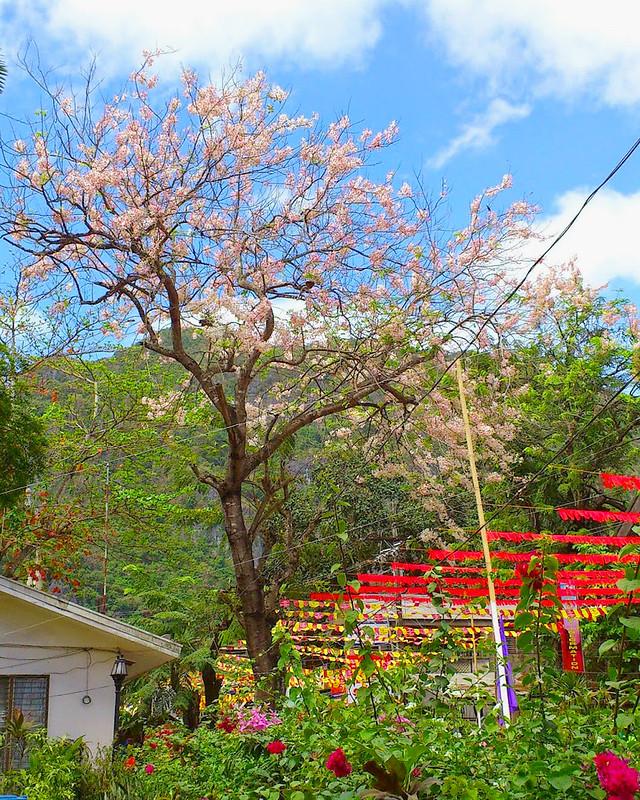 el nido cherry blossom