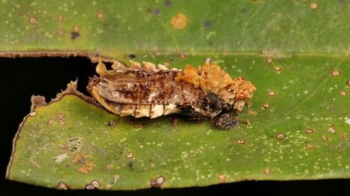 Hylicine Leafhopper (Hylicinae, Cicadellidae)