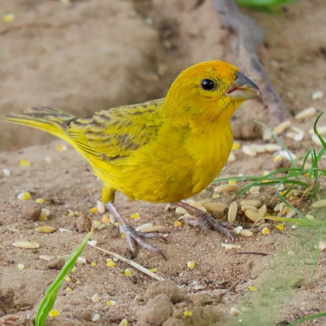 Canário-da-terra/Saffron Finch