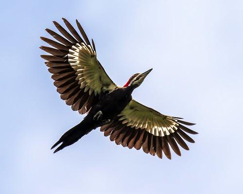 outdoor dennis adair nature wildlife 7dm2 7d ii ef100400mm canon florida bird bif flight
