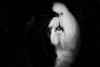 What the guinea pigs do in the Shadows...