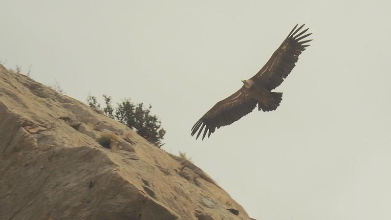 Vulture, Catalunya, Spain