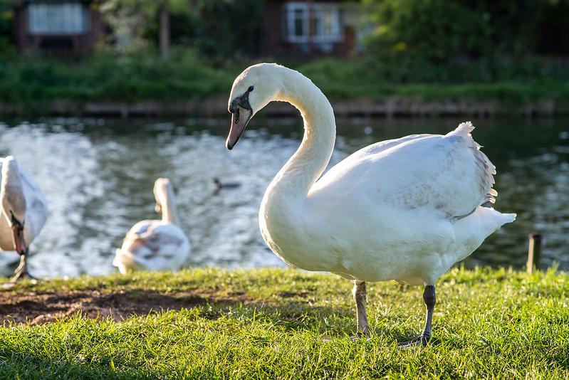 Swans in Cambridge
