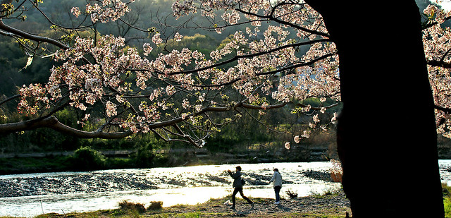Cherry blossoms : Spring in Japan 中津川 神奈川