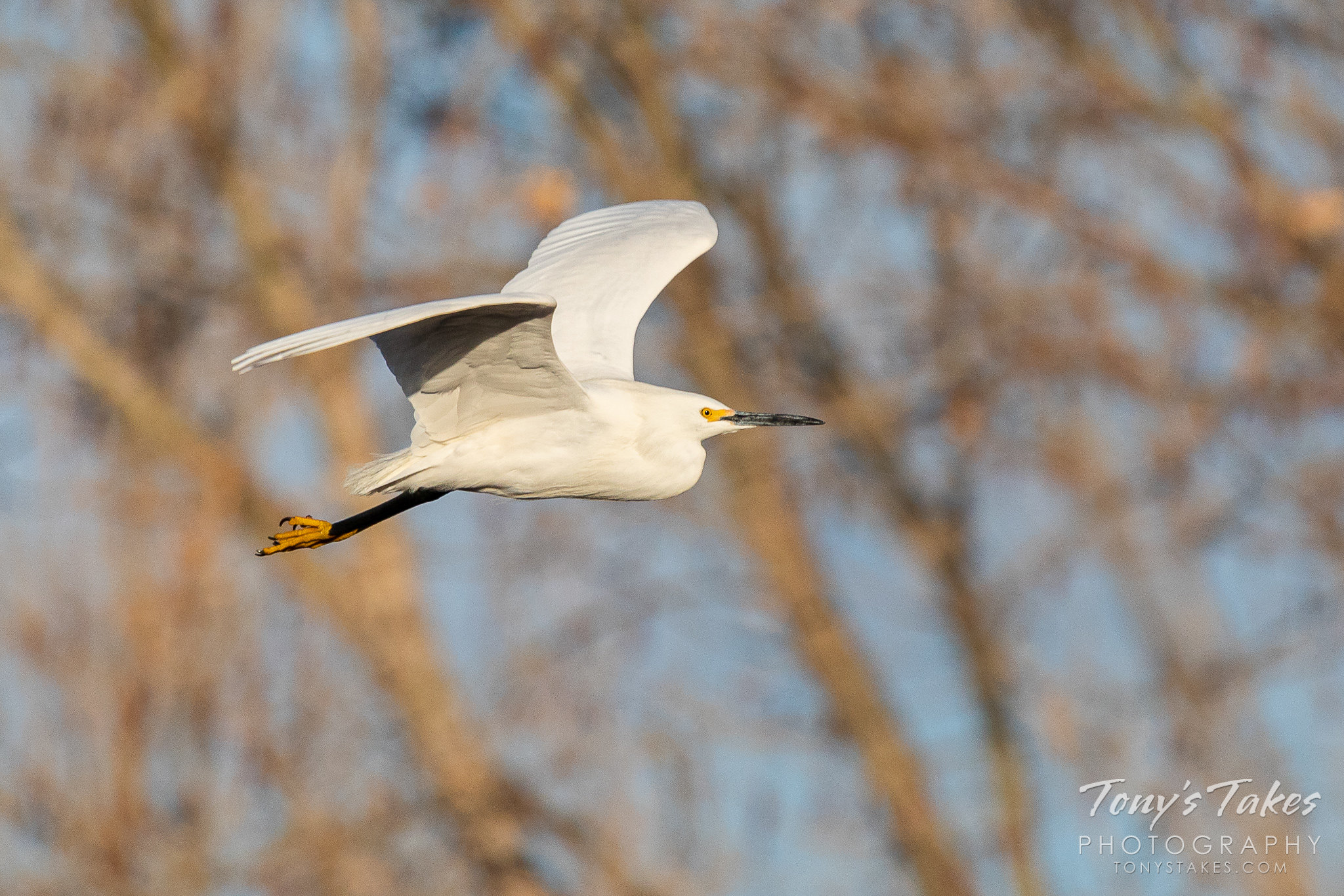 Snowy egret makes an early morning flyby