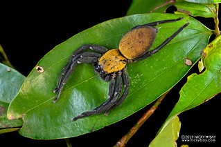 Black and gold huntsman spider (Thelcticopis sp.) - DSC_5974