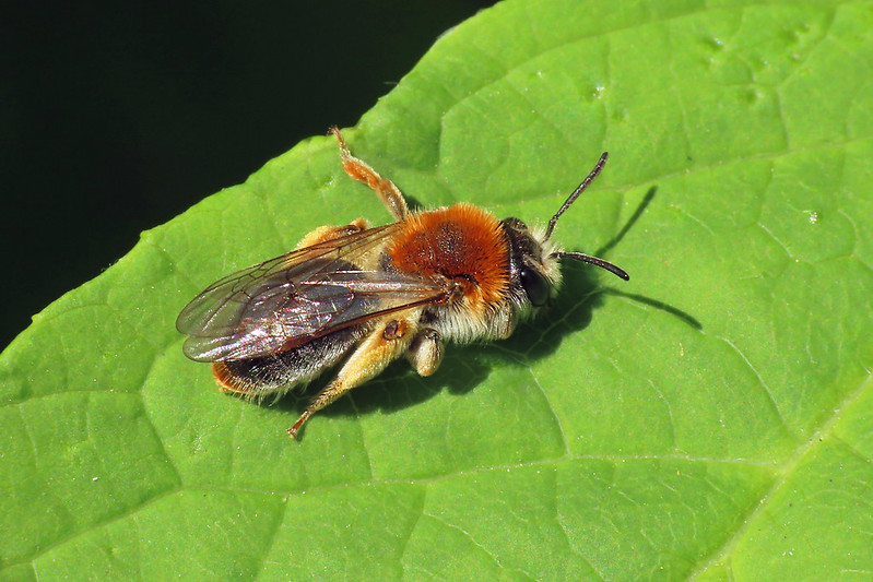 Andrena haemorrhoa - Early Mining Bee
