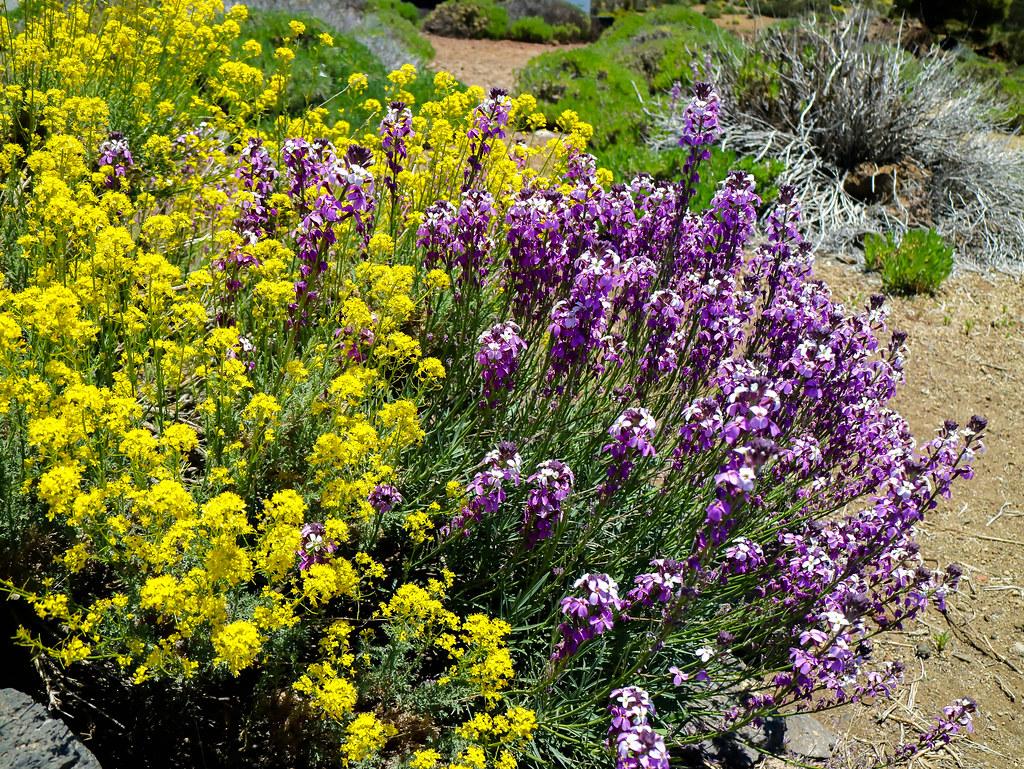Plantas en el Parque Nacional del Teide, hierba pajonera y alhelí del Teide