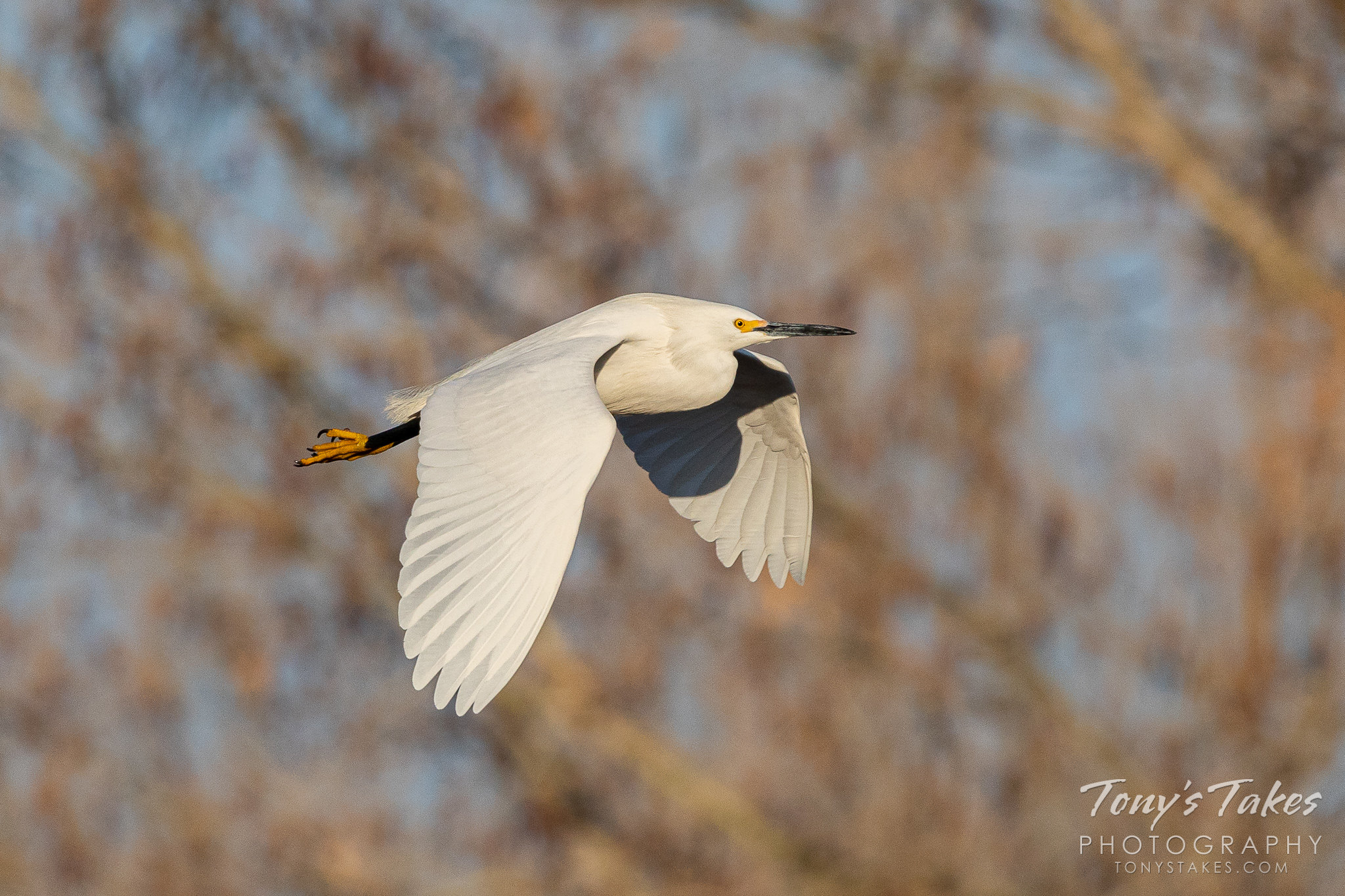 A snowy egret flies along the South Platte River in Colorado. (© Tony's Takes)
