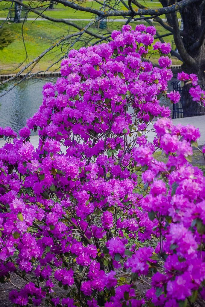 Very captivating.  Beautiful colour пышно цветет! 12:11:21 DSC_5120