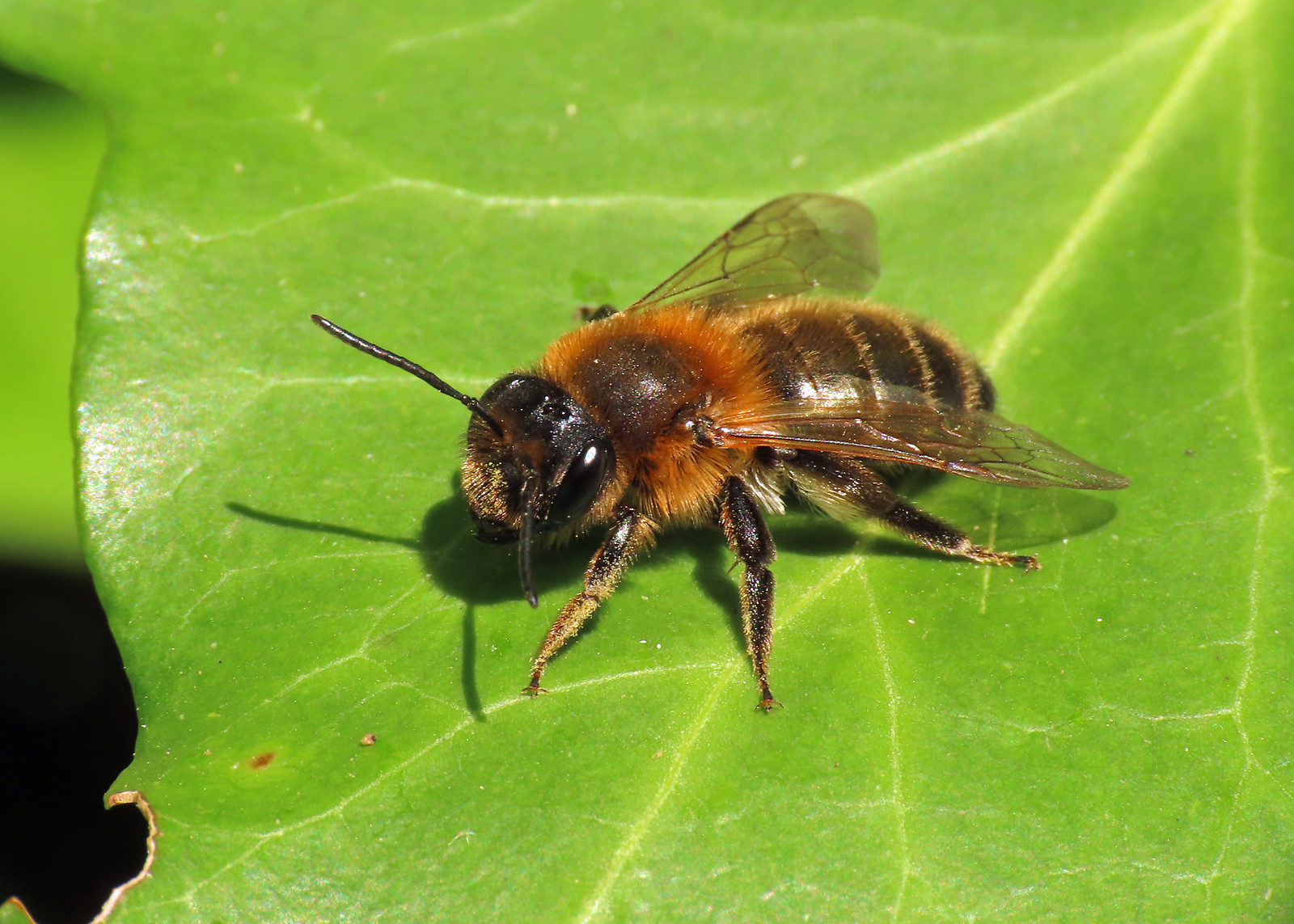 Andrena scotica - Chocolate Mining Bee