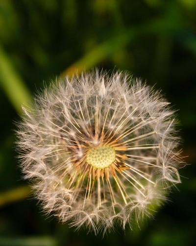 Dandelion White Globular Head Of Seeds On The Blue Sky: Just A Simple Dandelion Seed Head In