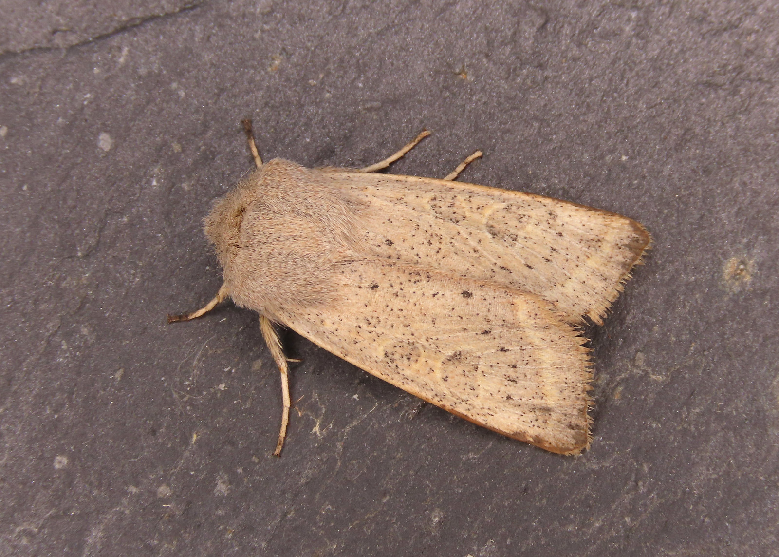 73.247 Powdered Quaker-  Orthosia gracilis
