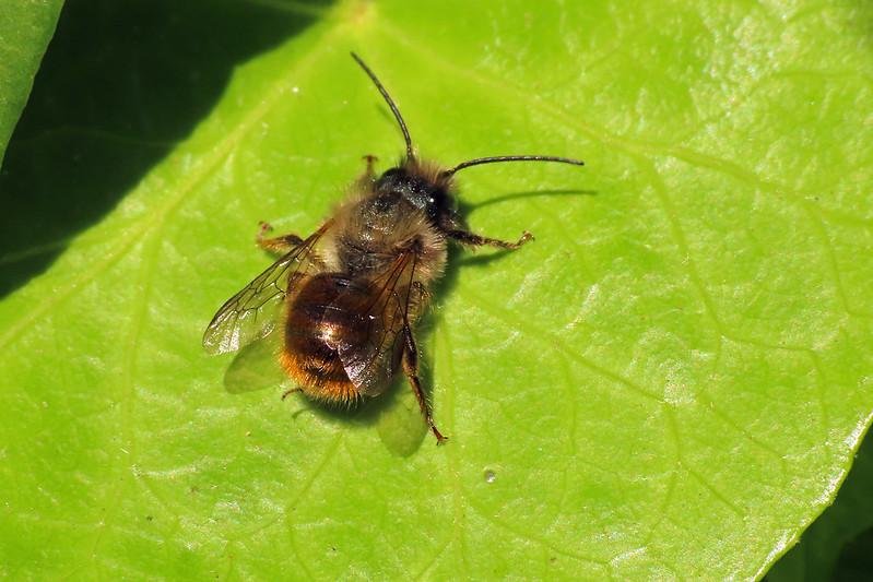 Osmia bicornis - Red Mason Bee