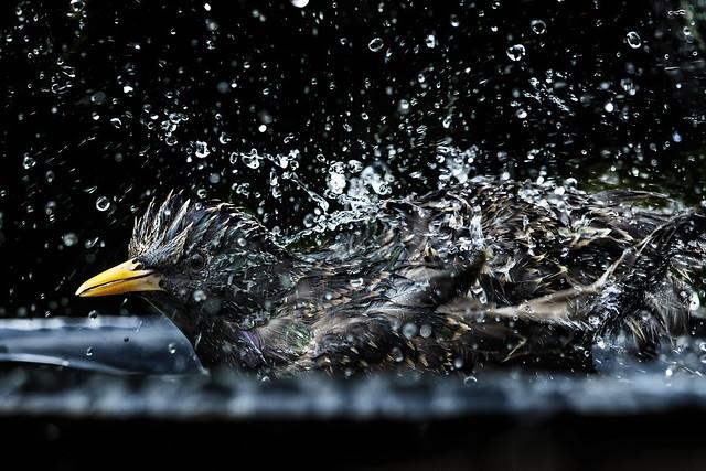 Splashin' Starling