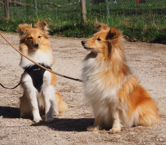 Shelties - seen in the Animal Park in Rheinböllen, Germany - The dog owner was with another Shelty German Champion in Obedience