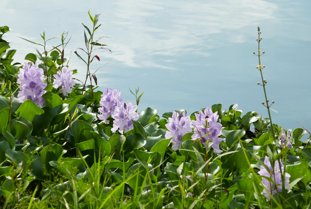 Water Hyacinth flowers along the edge of a pond, invasive plant