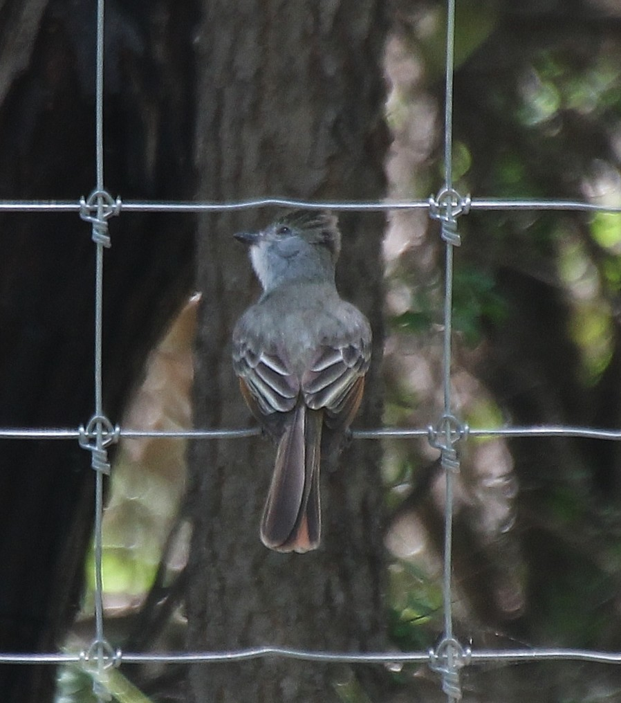 Brown-crested Flycatcher, Myiarchus tyrannulus